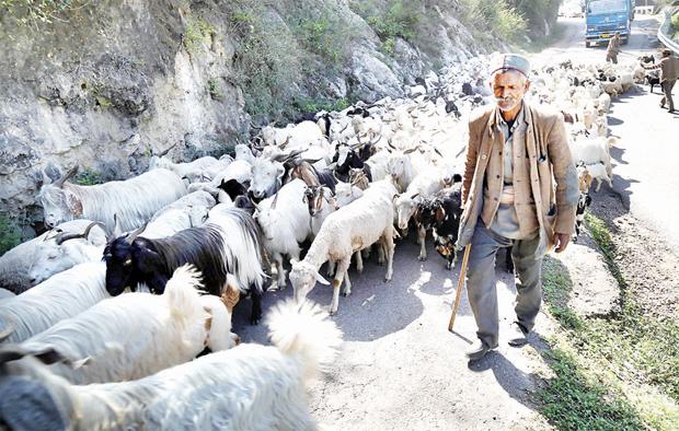 Gaddis of Himachal